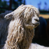The White Huacaya Alpaca  Arequipa  Peru