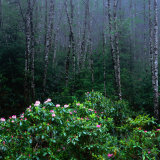 Rhododendren and Western Hemlock Forest in the Del Norte Region  Redwood Nat Park  California  USA