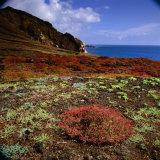 The Endemic Succulent Sesuvium at Punta Pitt  Isla San Cristobal  Galapagos  Ecuador