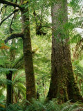 Trees in Forest Mt Field National Park  Tasmania  Australia