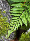 Ferns near Lake Moeraki  West Coast  South Island  New Zealand