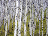 Aspen Grove near East Glacier  Montana  USA