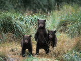 Brown Bear and Three Spring Cubs in Katmai National Park  Alaskan Peninsula  USA