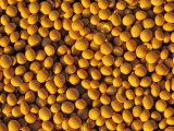 Ripe Soybeans
