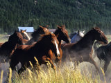 Horses Charge thru Pasture in Marion  Montana  USA