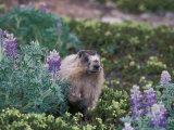 Hoary Marmot Feeding on Silky Lupine in Kenai Fjords National Park  Alaska  USA