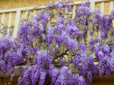 Wisteria Blooming in Spring  Sonoma Valley  California  USA