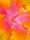 Pink and Yellow Hibiscus  San Francisco  California  USA