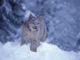 Lynx in the Snowy Foothills of the Takshanuk Mountains  Alaska  USA