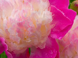 Peony with Raindrops  Olympic Peninsula  Washington  USA
