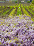 Workers in Vineyards with Wisteria Vines  Groth Winery in Napa Valley  California  USA