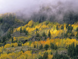 Autumn Aspen in Fog  San Juan Mountains  Colorado  USA