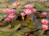 Pink Lotus Flower in the Morning Light  Thailand