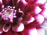 Dahlia Flower with Pedals Radiating Outward  Sammamish  Washington  USA