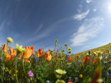 Poppies and Desert Dandelion Spring Bloom  Lancaster  Antelope Valley  California  USA