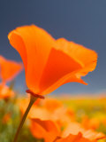 Poppies in Spring Bloom  Lancaster  California  USA