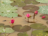 Lotus Flower  Ayuthaya  Thailand