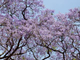 Jacarandas Trees Bloom in City Parks  Parque 3 de Febrero  Palermo  Buenos Aires  Argentina