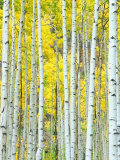 Aspen Grove  White River National Forest  Colorado  USA