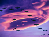 Sandhill Cranes in Flight and Lenticular Cloud Formation over Mt Shasta  California