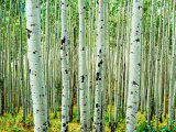 Bigtooth Aspen Trees in White River National Forest near Aspen, Colorado, USA Papier Photo par Tom Haseltine