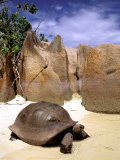 Aldabran Giant Tortoise  Curieuse Island  Seychelles  Africa