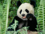 Panda in the Forest  Wolong  Sichuan  China