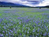 Field of Blue Camas Wildflowers near Huson, Montana, USA Papier Photo par Chuck Haney