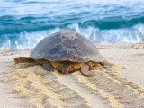 Loggerhead Turtle  Nagata  Kagoshima  Yakushima  Japan