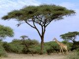 Southern Giraffe and Acacia Tree  Okavango Delta  Botswana
