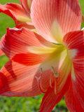 Peach Amaryllis  Edgewater  Florida