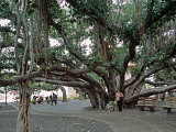 Banyan Tree in Lahaina  Maui  Hawaii  USA