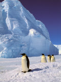 Emperor Penguins  Cape Darnley  Australian Antarctic Territory  Antarctica