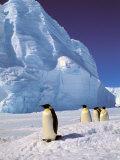 Emperor Penguins  Cape Darnley  Australian Antarctic Territory  Antarctica