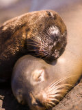 Mom and Baby Sea Lions  South Plaza Island  Galapagos Islands National Park  Ecuador