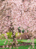 Flowering Cherry Tree  Seattle Arboretum  Washington  USA