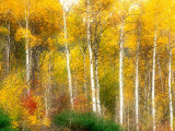 Fall Aspen Trees along Highway 2  Washington  USA