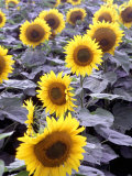 Sunflower Field  Jamestown  North Dakota  USA