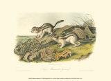 Marmot Squirrel Reproduction d'art par John James Audubon