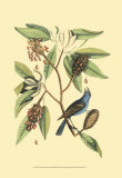 The Blew Grosbeak