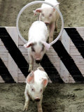 Pigs Compete the Obstacle Race at Pig Olympics Thursday April 14  2005 in Shanghai  China