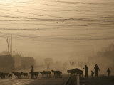 Afghan Herders Lead Their Livestodk Across a Road in Kabul  Afghanistan  Monday  Oct 9  2006
