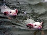 Pigs Compete Swimming Race at Pig Olympics Thursday April 14  2005 in Shanghai  China