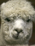 Zephyr Moon  a 2-Year-Old Alpaca  at the Vermont Farm Show in Barre  Vermont  January 23  2007
