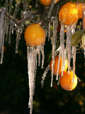 Drip Irrigation Creates Icicles and Forms an Insulation and Way of Protecting Oranges on the Trees