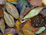 Autumn Leaves Float in a Pond at the Japanese Garden of Portland  Oregon  Tuesday  October 24  2006