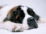 St Bernard Dog  September 1976