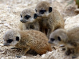 Jenny the Meerkat&#39;s Four New Babies Watch as She Stands at London Zoo