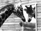 Maxi the Giraffe Gazing at Reflection in Mirror  1980