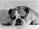 Bruce the Old English Bulldog Not Feeling His Best  November 1978